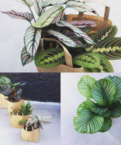 Plantzak